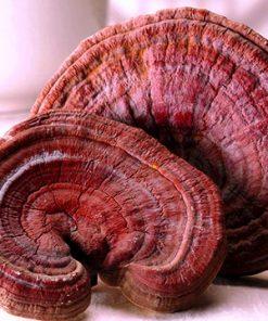 Nấm linh chi đỏ hàn quốc loại 1 kg thượng hạng chính hãng